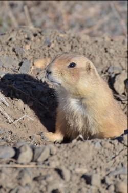 cpw-prairie-dog