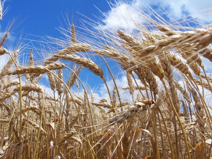 syngenta-agripro-wheat-image